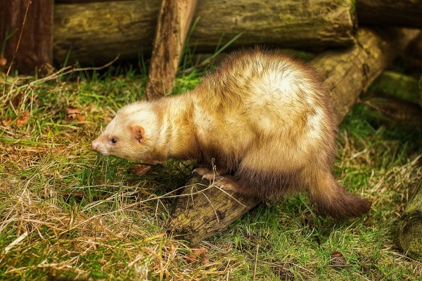 Ferret Racing before Corporate Show with Wild In The Country Ltd