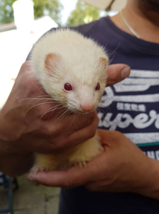 Micro-ferret, Ferret Racing, Wild In The Country Ltd, Hertfdshire